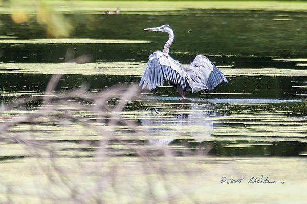Photograph - Dragonfly And Great Blue Heron by Edward Peterson