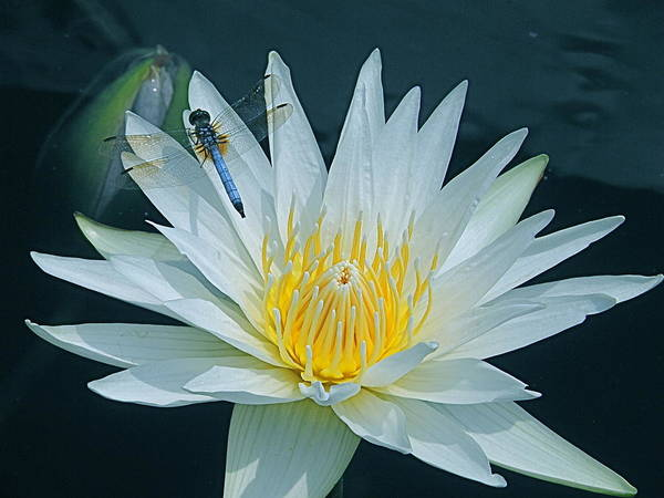 Photograph - Dragonfly And Water Lily by Byron Varvarigos