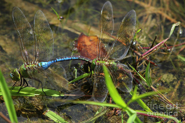 Photograph - Dragonfly Beauty Reproduction Art by Reid Callaway