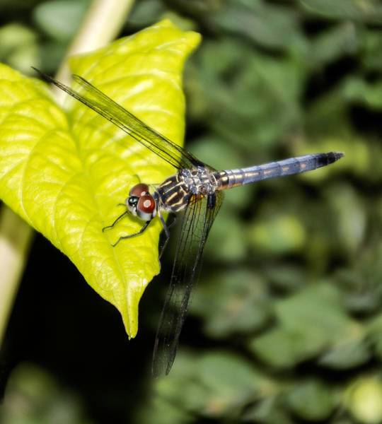 Photograph - Dragonfly  by Bob Slitzan