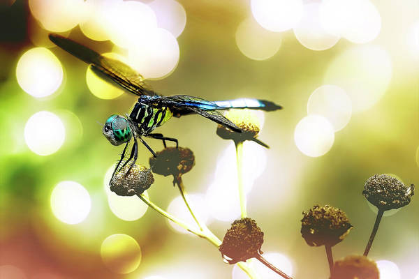 Photograph - Dragonfly Bokeh by Kay Brewer