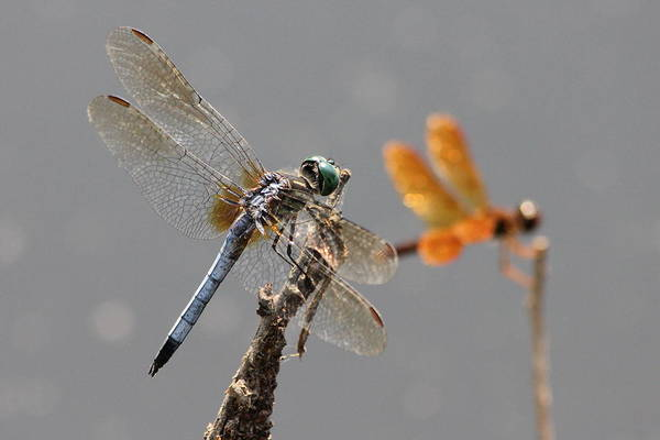 Photograph - Upfront Dragonfly Buddies Maybe  by Reid Callaway