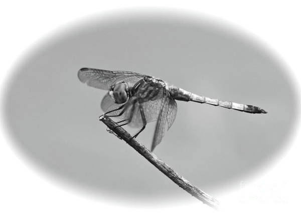 Photograph - Dragonfly Cameo In Black And White by Carol Groenen
