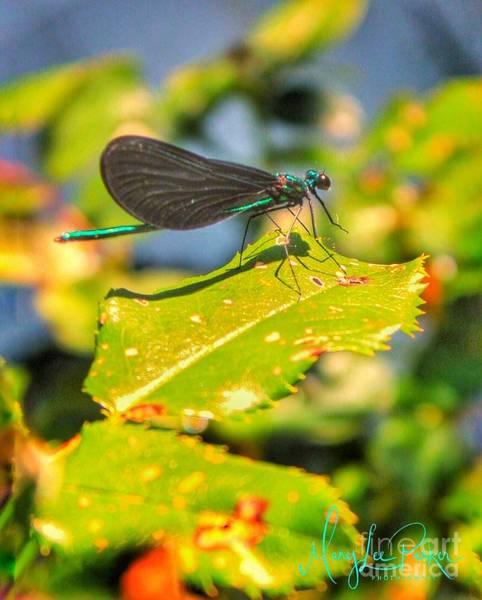 Photograph -  Dragonfly Dragonfly  by MaryLee Parker
