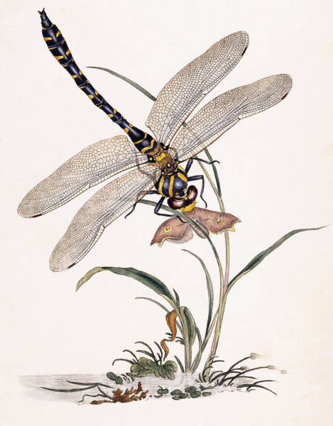 Dragon Fly Painting - Dragonfly by Edward Donovan