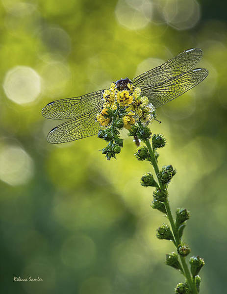 Photograph - Dragonfly Flower by Rebecca Samler