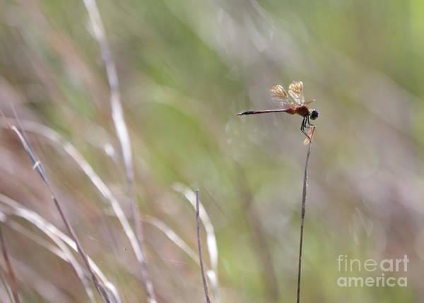 Wall Art - Photograph - Dragonfly Focus by Carol Groenen