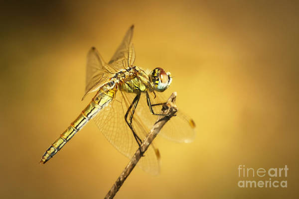 Photograph - Dragonfly II by Dimitar Hristov