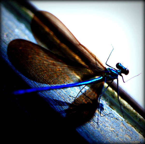 Photograph - Dragonfly II by Susie Weaver