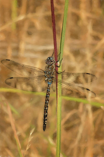 Photograph - Dragonfly In A Field by Belinda Greb