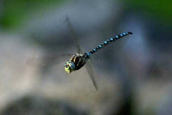Photograph - Dragonfly In Flight 3 by Ben Upham III