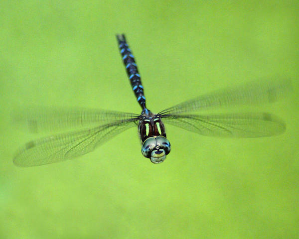 Photograph - Dragonfly In Flight by Ben Upham III