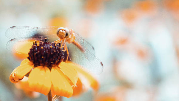 Photograph - Dragonfly In The Garden by Jeanette Fellows
