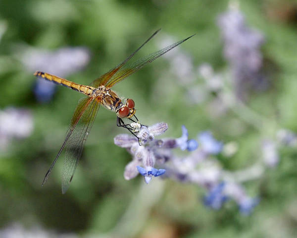 Photograph - Dragonfly In The Lavender Garden by Rona Black