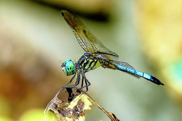 Photograph - Dragonfly Landing by Kay Brewer