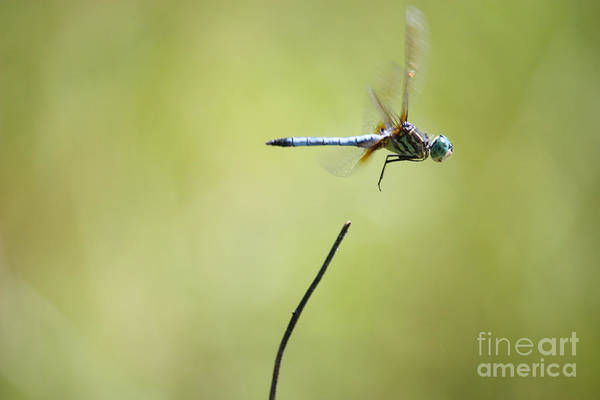 Photograph - Dragonfly Liftoff by Carol Groenen