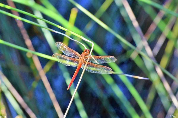 Photograph - Damselfly by Lisa Wooten