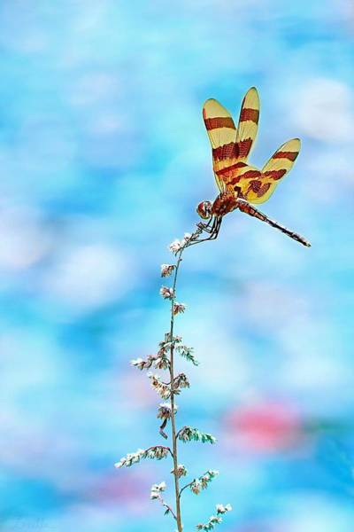 Photograph - Dragonfly by Lorella Schoales
