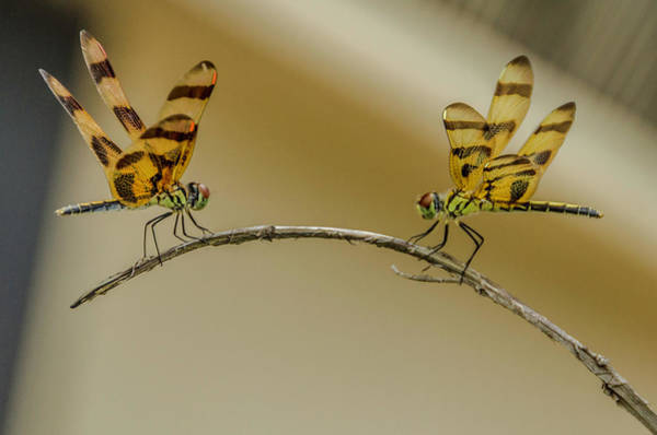 Photograph - Dragonfly Meetup by Wolfgang Stocker