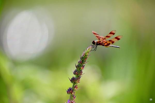 Photograph - Dragonfly by John Meader