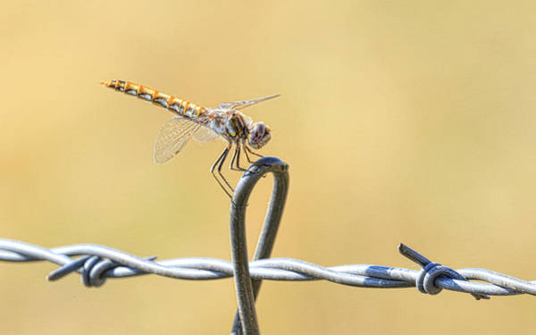 Wall Art - Photograph - Dragonfly On Barbed Wire by Steve McKinzie