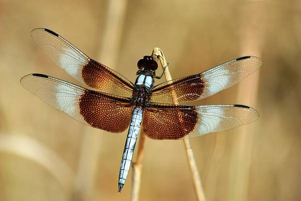Photograph - Dragonfly On Reed by Sheila Brown