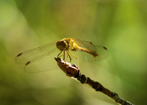 Wall Art - Photograph - Dragonfly Perched by Jeff Swan