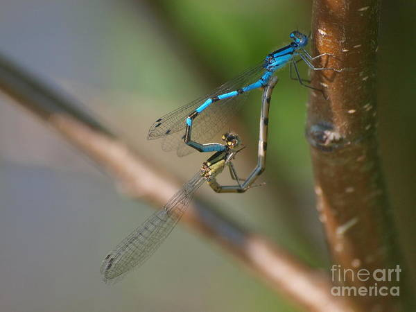 Photograph - Dragonfly - Perfect Heart by Vivian Martin