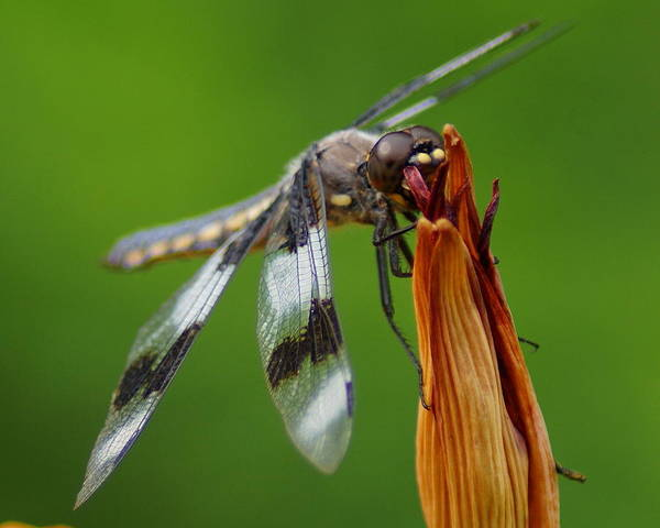 Photograph - Dragonfly Portrait 2 by Ben Upham III