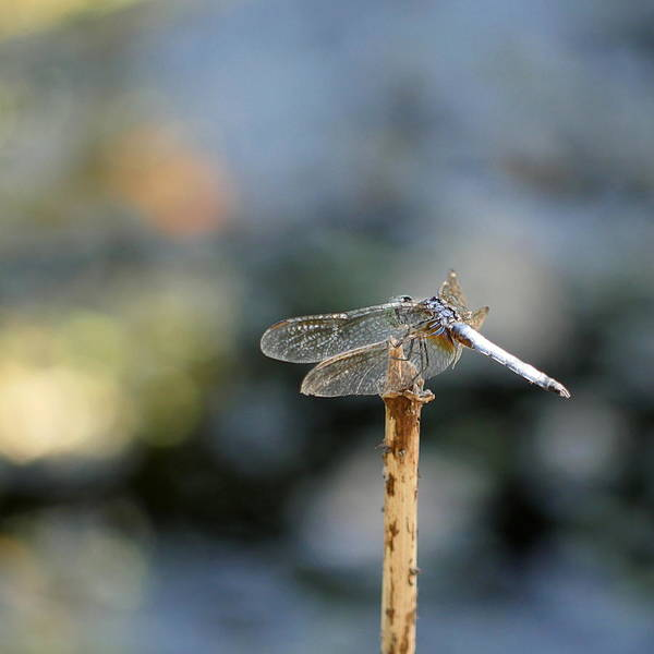 Photograph - Dragonfly - Ready For Take Off by Richard Reeve