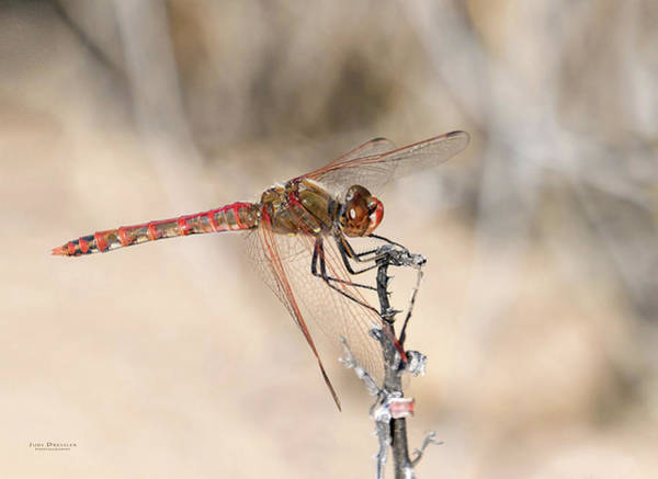 Photograph - Dragonfly Resting by Judi Dressler