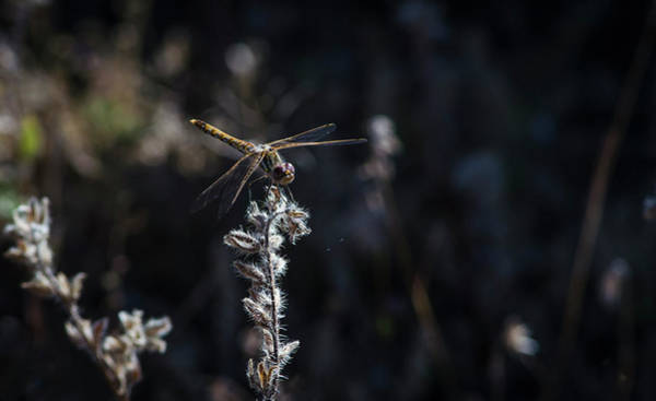 Wall Art - Photograph - Dragonfly by Rick Mosher