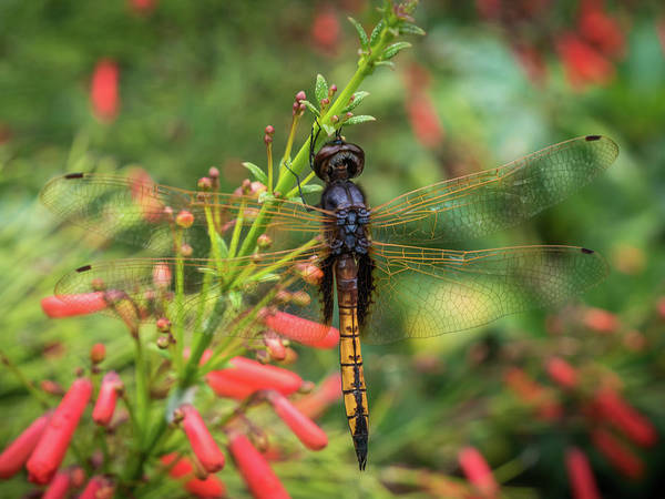 Photograph - Wings Of The Dragonfly by Robin Zygelman