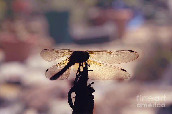 Photograph - Dragonfly Silhouette by Cindy Garber Iverson