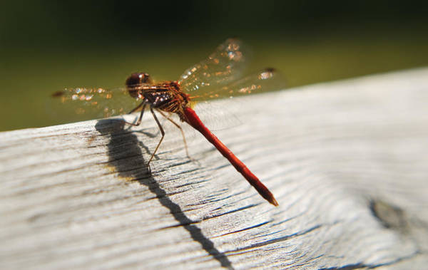 Photograph - Dragonfly by Steve Somerville