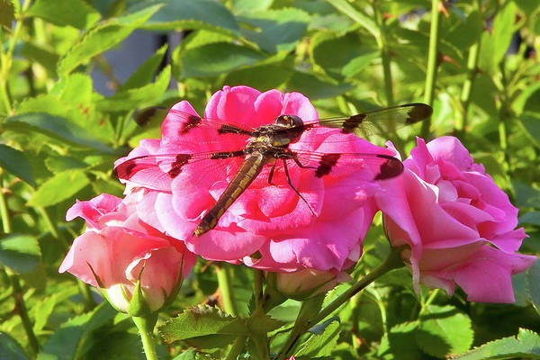 Wall Art - Photograph - Dragonfly by Susan Cole Kelly
