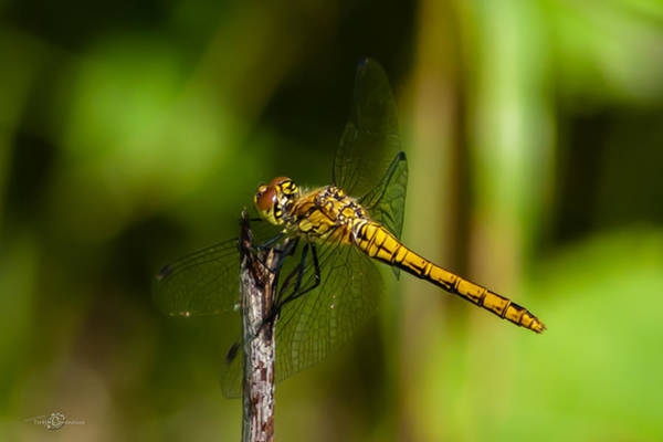 Photograph - Dragonfly by Torbjorn Swenelius