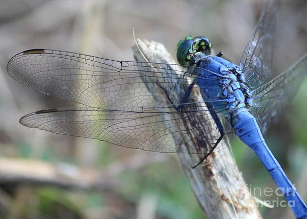 Blue Dragonfly Photograph - Dragonfly Wing Detail by Carol Groenen