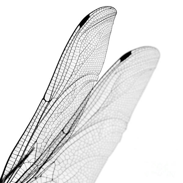 Photograph - Dragonfly Wings by Clayton Bastiani