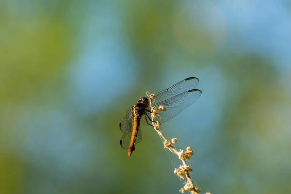 Dragonfly Wings Art Print
