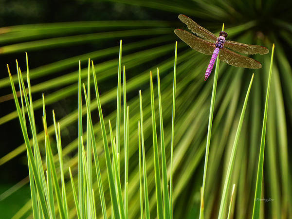 Photograph - Dragonfly by Xueling Zou