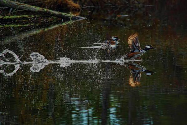 Photograph - Drake Hooded Merganser Running On Water by Dale Kauzlaric
