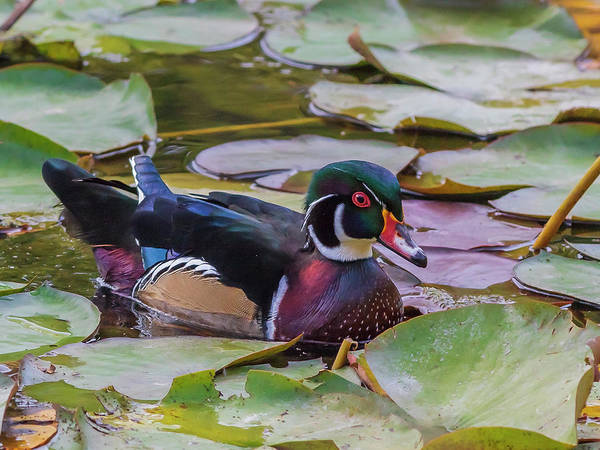 Photograph - Drake Wood Duck by Mark Mille