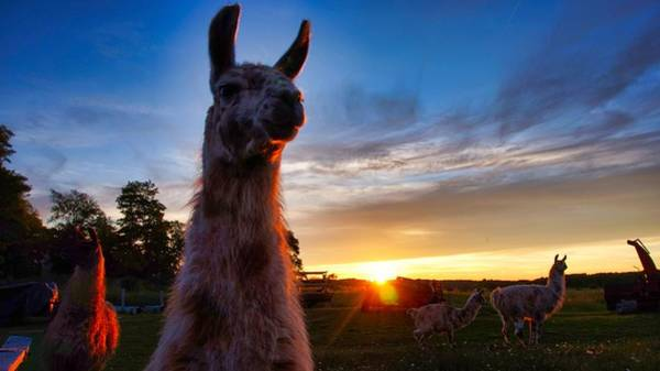 Photograph - Drama Llamas by Bryan Smith