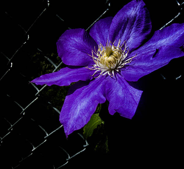 Biota Photograph - Dramatic Clematis  by Susan Elizabeth