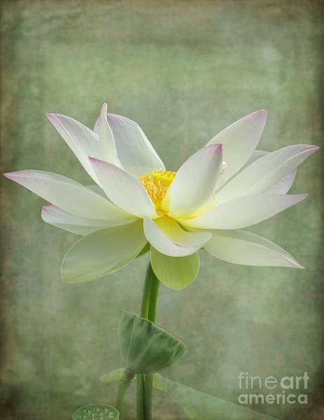 Photograph - Dramatic Lotus  by Sabrina L Ryan