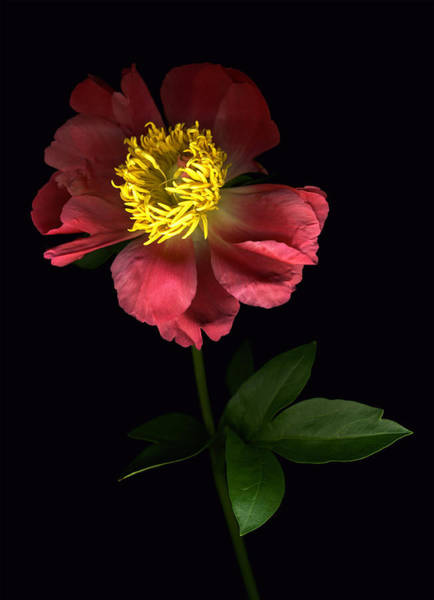 Photograph - Dramatic Peony by Deborah J Humphries
