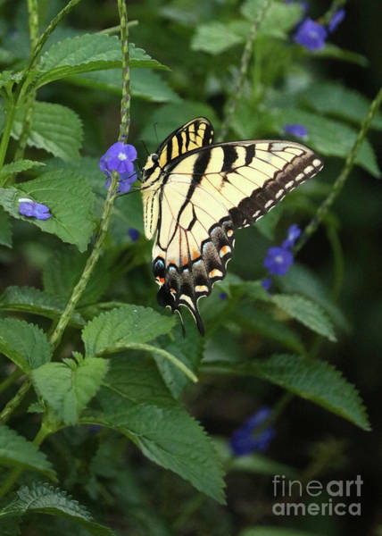 Photograph - Dramatic Swallowtail Butterfly by Carol Groenen