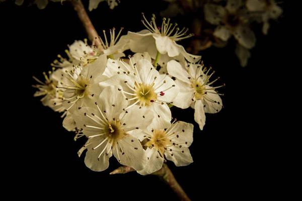 Photograph - Dramatic Wild Plum Blooms 5536.02 by M K Miller