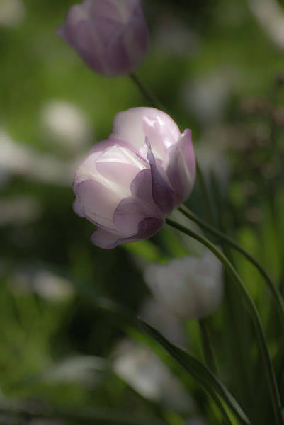 Photograph - Dream Tulip by Robin Webster